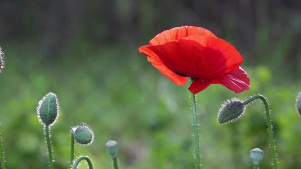 Fragile, delicate creature.In the garden blossom poppies.Poppy buds blossom.