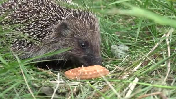 The hedgehog is eating a biscuit, closeup.Lunch in the open vozduhe.