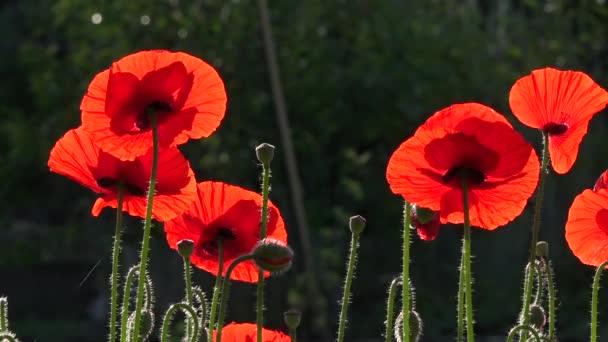 Atraktivní, světlé, červené barvy. V zahradní květy máků.
