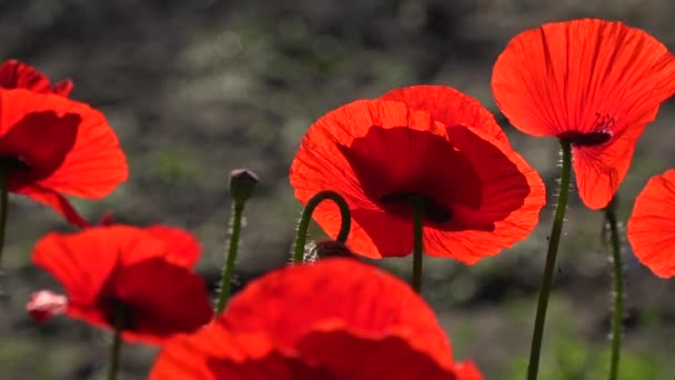 Attractive, bright, red color.In the garden blossom poppies.
