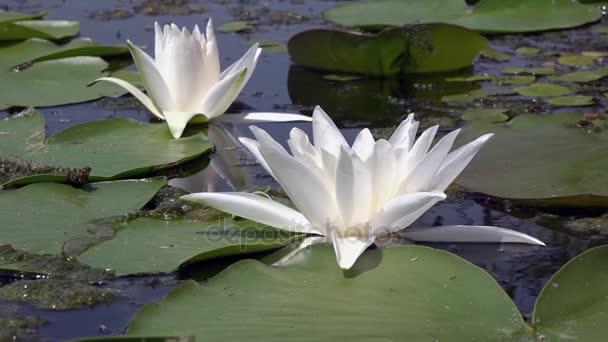 Bílý leknín. Krásné bílé vody lily a tropické podnebí. Vodní plochy.