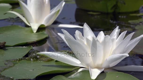 Bílý leknín. Krásné bílé vody lily a tropické podnebí. Vodní plochy