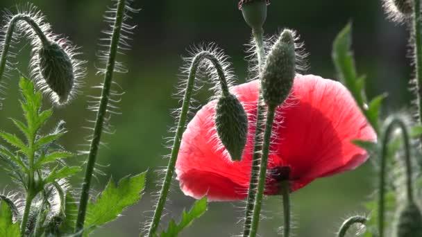 Delicate, red in the garden area.Attractive, bright, red color.