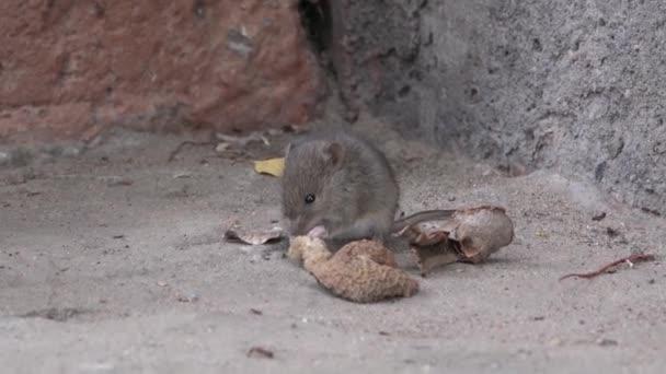 Fangen Sie Maus Auf Der Veranda Des Hauses Microtus Arvalis