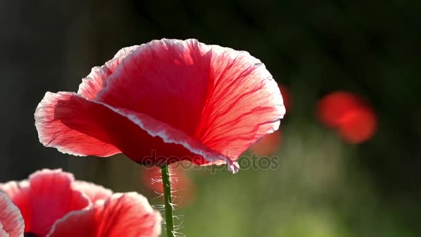 Egy másik mák bud. Mák zöld rügyek. Mák Idyll.In kerti mák virág. Finom virág. A dobozok, a mező mák uralkodik. a szél. Szép, szelíd, mező mák. Törékeny, finom lény.