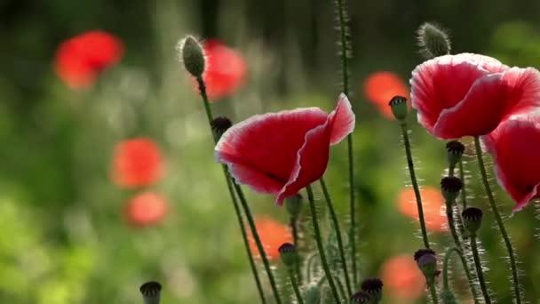 Festői május ellentétben. Egy másik mák bud. Mák zöld rügyek. Mák Idyll.In kerti mák virág. Finom virág. A dobozok, a mező mák uralkodik. a szél. Szép, szelíd, mező mák. Mák, egy másik bud