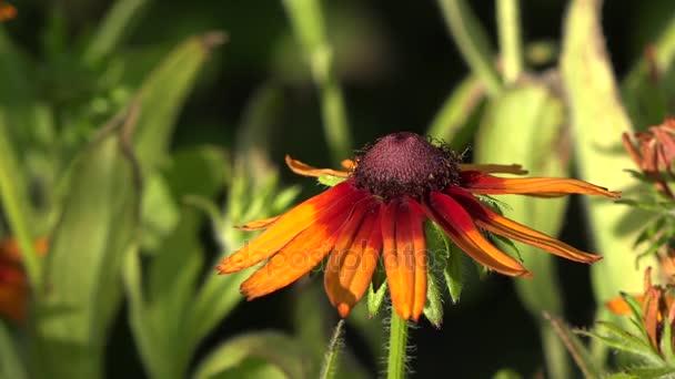 Vážky jsou velmi starobylé hmyz. Měkká, světlé, mladý hmyz. Dekorativní žlutý květ, hmyz láká. Chmel a zobrazuje se v celé své kráse. Hmyz opyluje rostliny. Já sám ukážu v celé své kráse. Žlutá, světlé wildflower.
