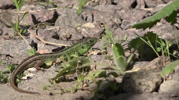 The dream of a green lizard.The full lizard rests.Most lizards are carnivorous.