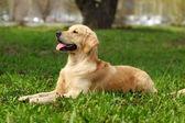 šťastný pes zlatý retrívr