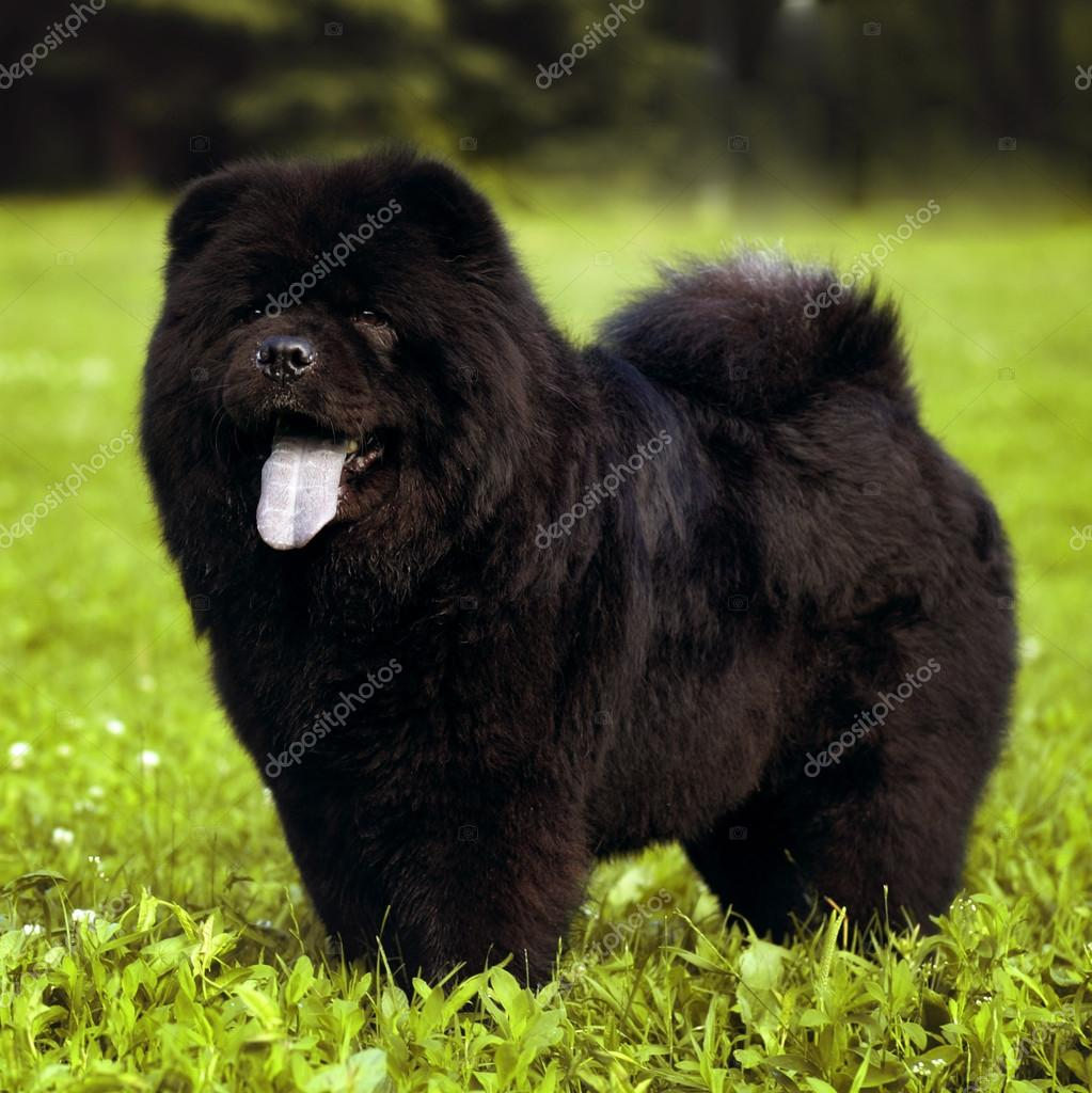 Black Fluffy Dog Pictures