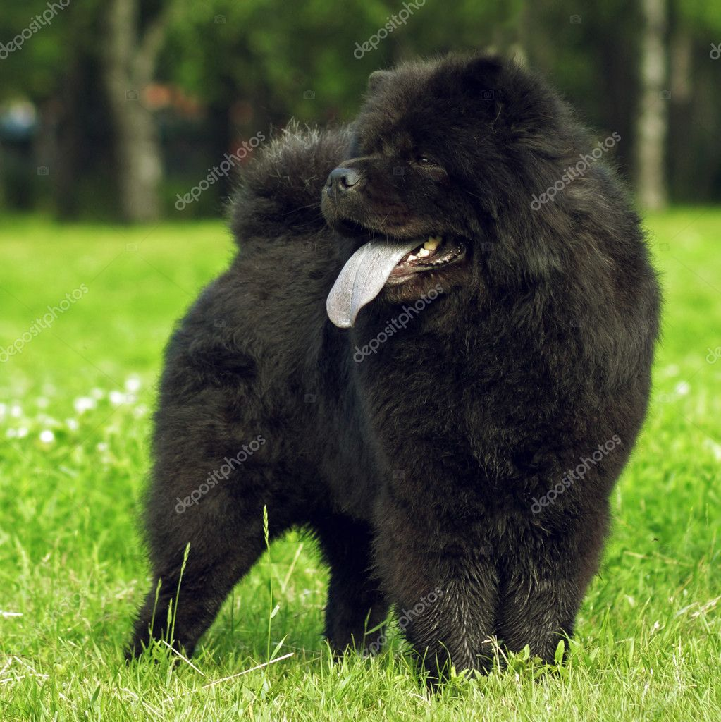 Chow Chow Dog Breed Black