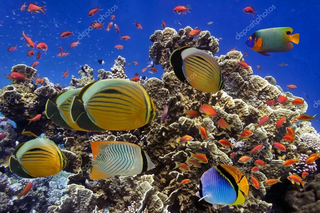 Poissons tropicaux sur les r cifs coralliens de la mer for Poisson tropicaux