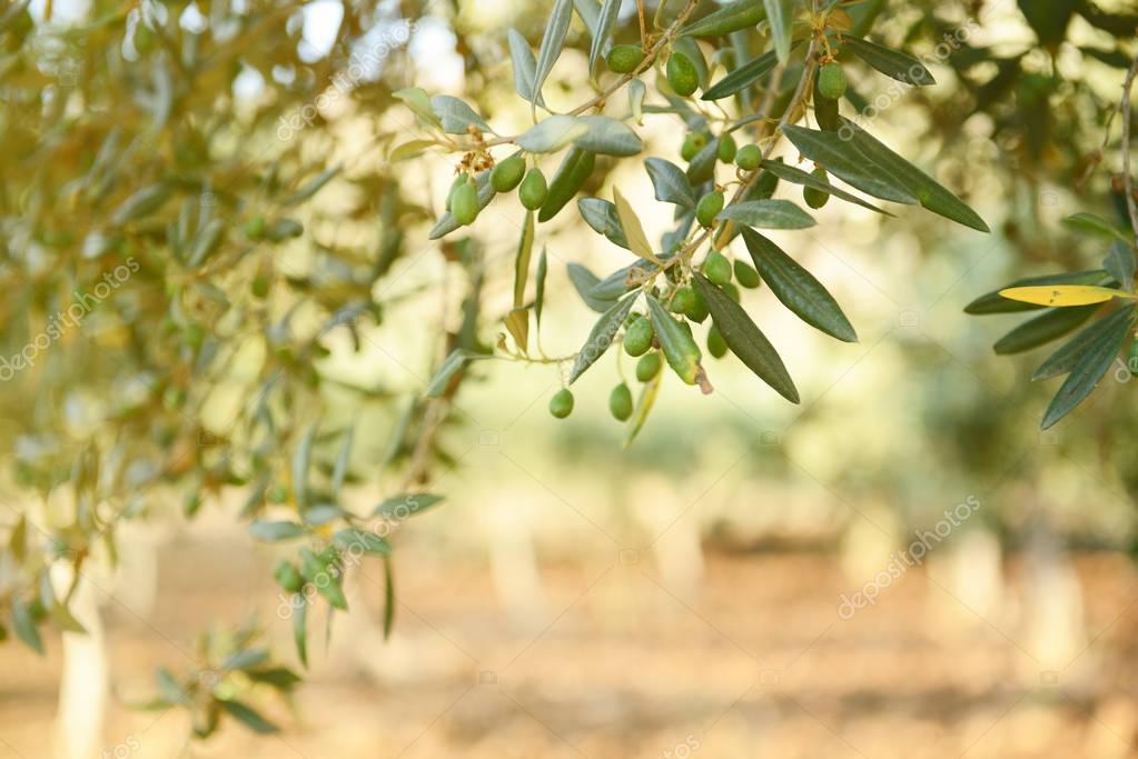 green Olive garden