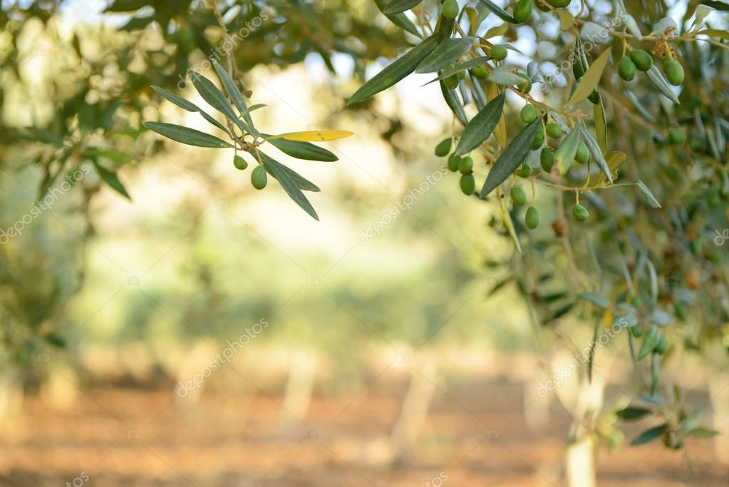 Beautiful Fresh Green Olive Trees Garden U2014 Photo By Khorzhevska