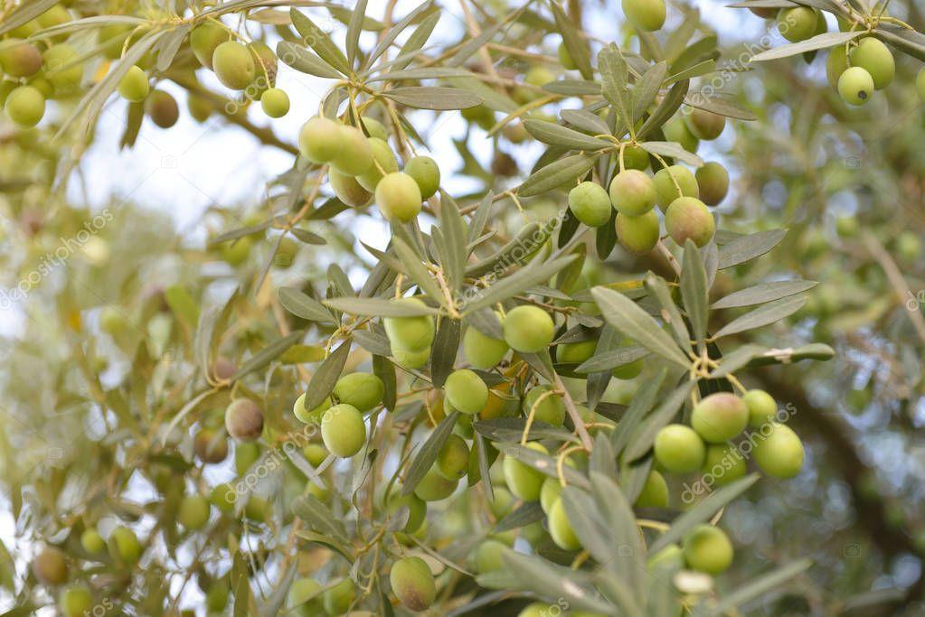 fresco verde Olive garden — Foto de stock © khorzhevska #129374376