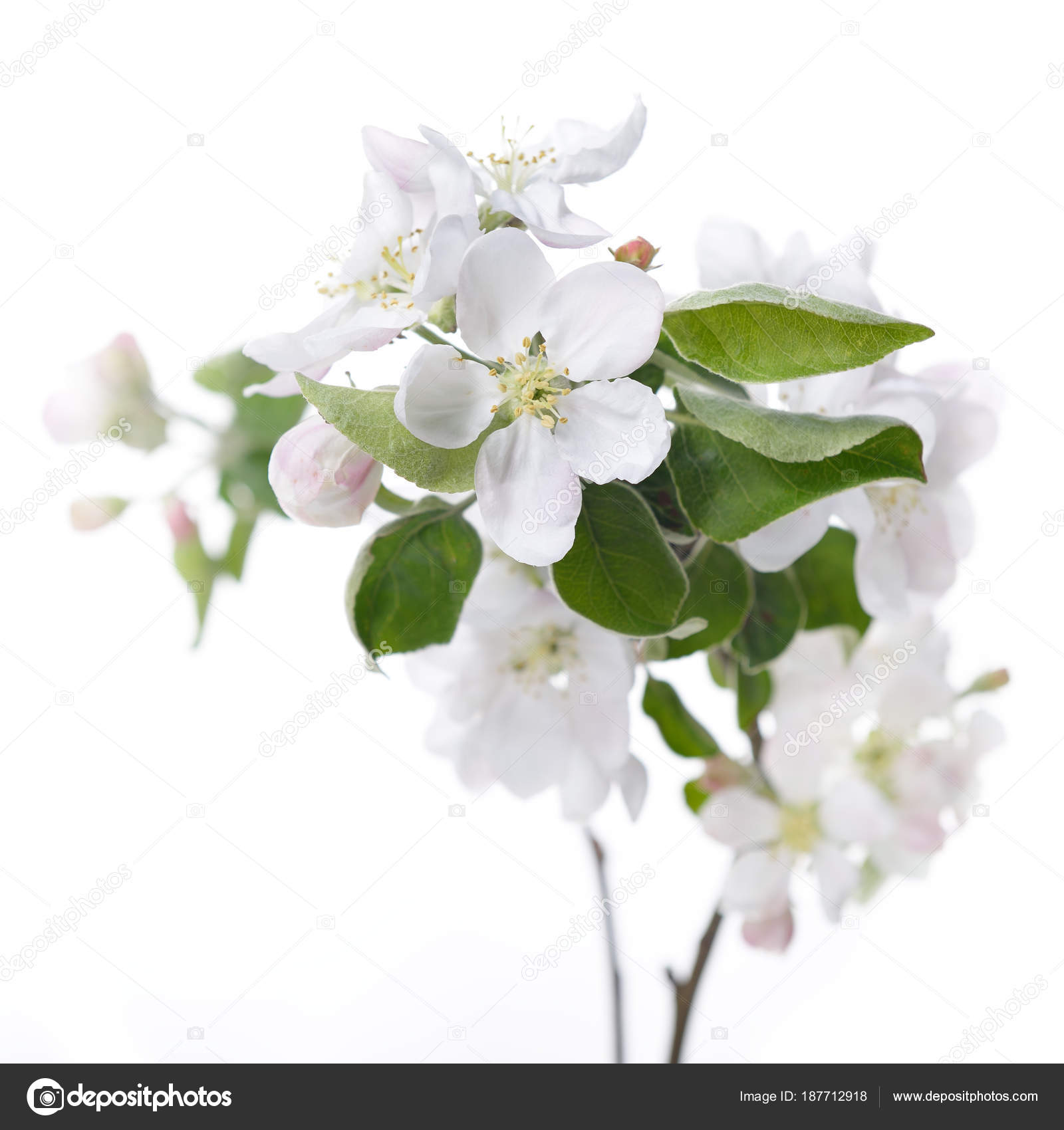 Apple Blossoms Blooming Apple Tree Branch With Large White Flow