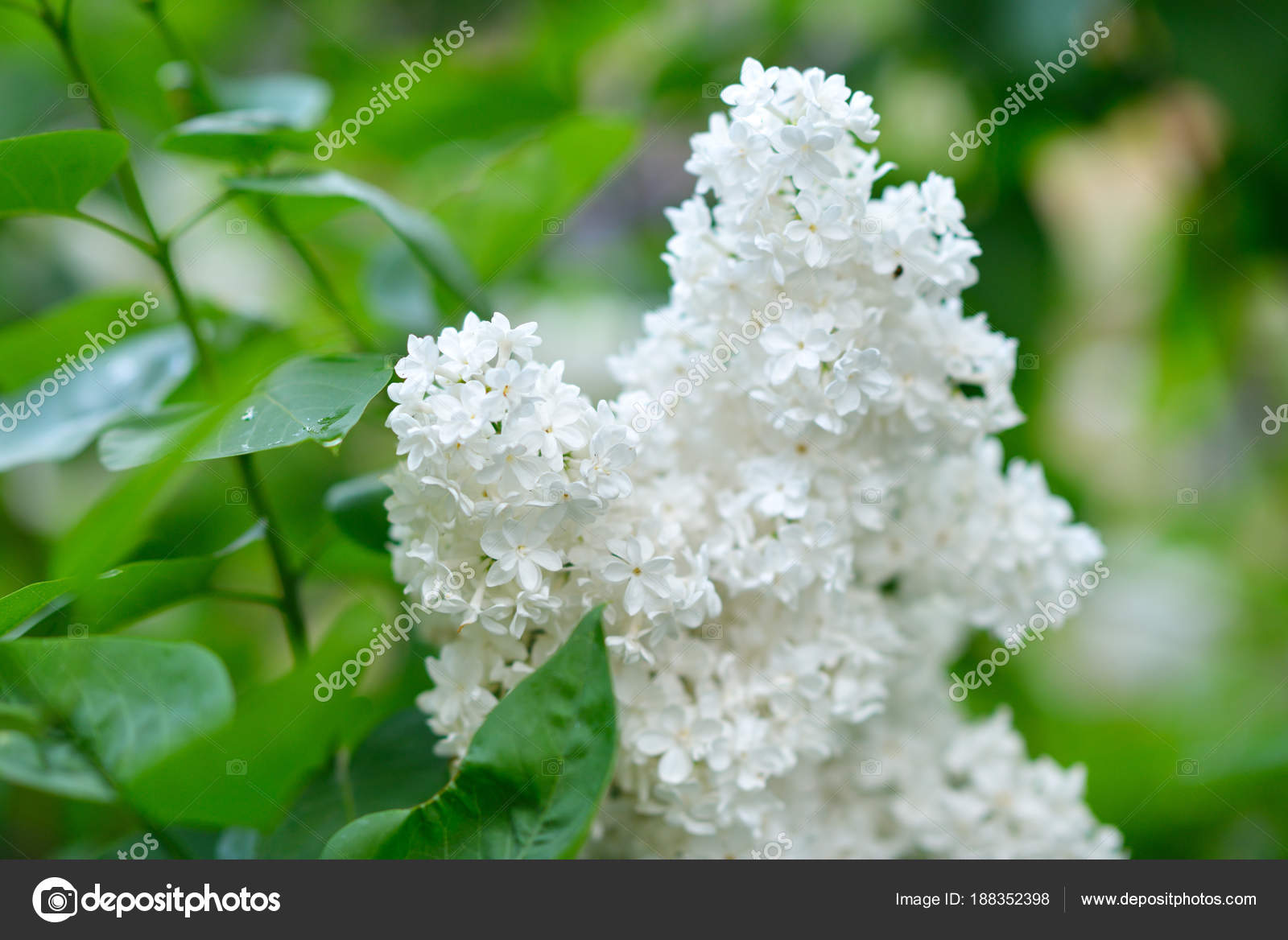 White Lilac Beauty In Natutre Lilac Garden Spring Flowers Bac
