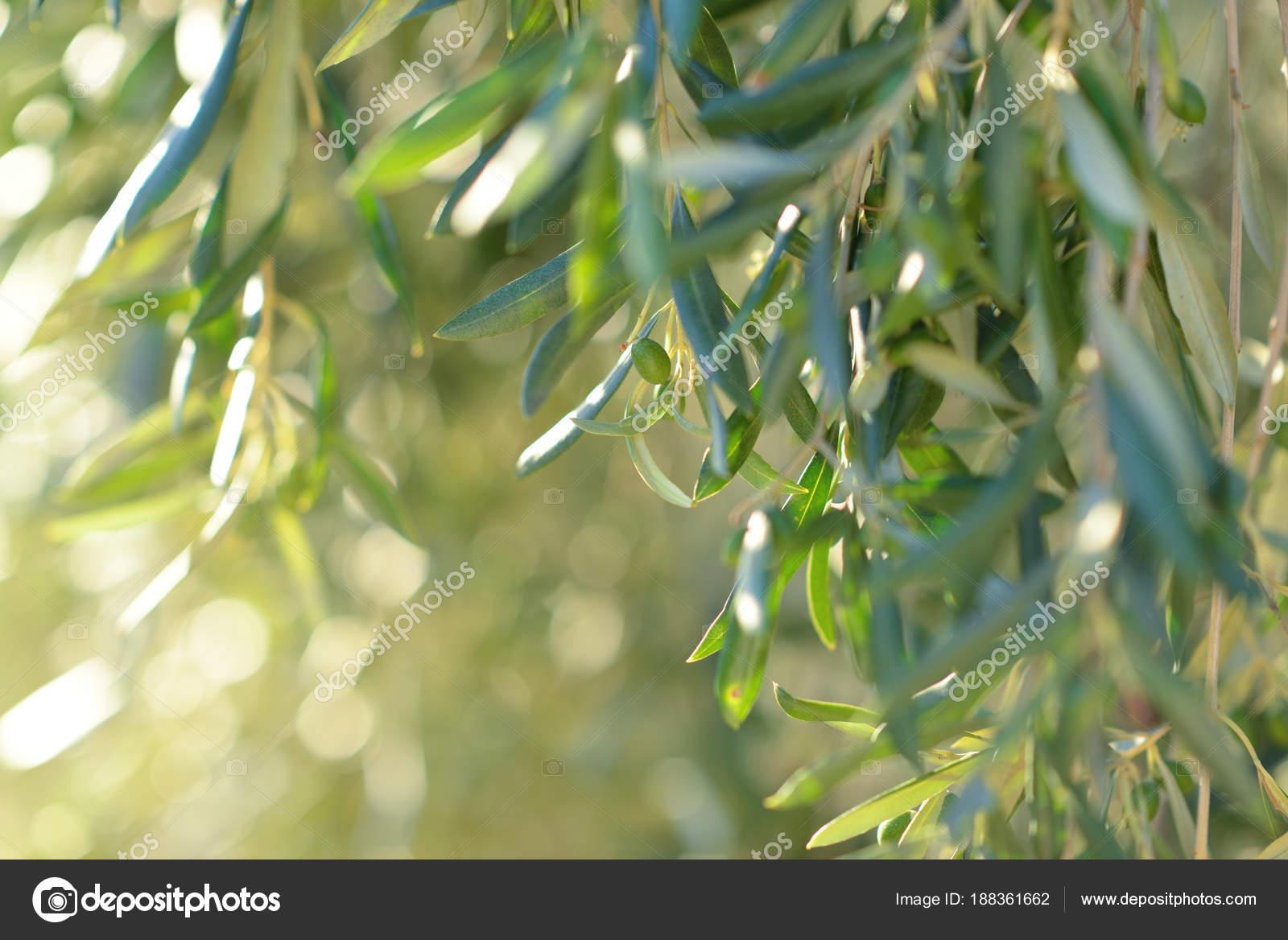 Olivier en Italie, le temps de la récolte. Coucher de soleil d ...