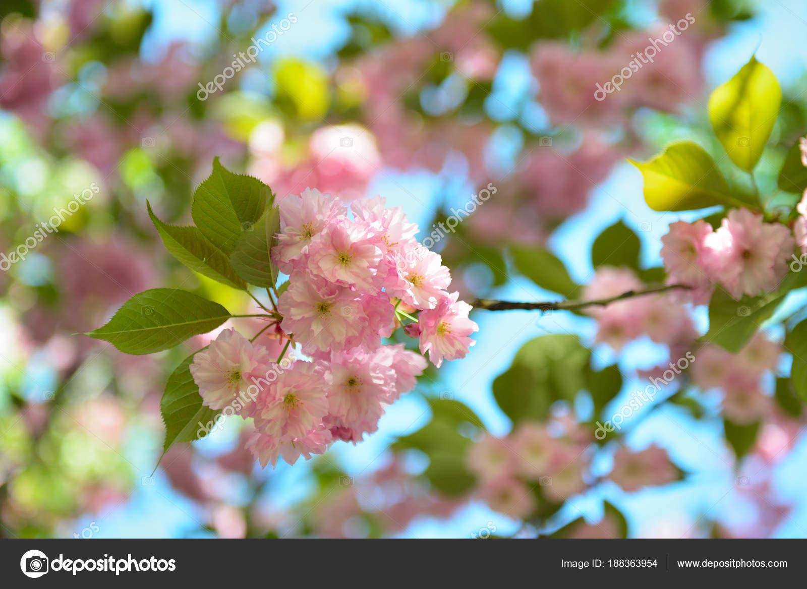 Вишни в цвету. Цветущая ветвь Вишневое дерево с большими ...