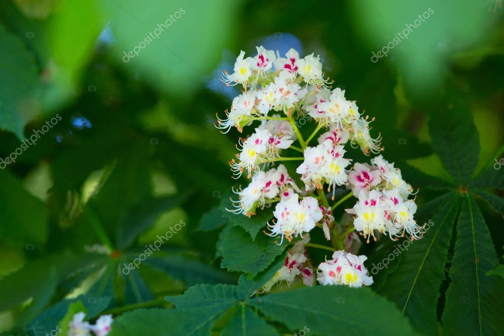 Beautiful nature background with blooming chestnut in spring par