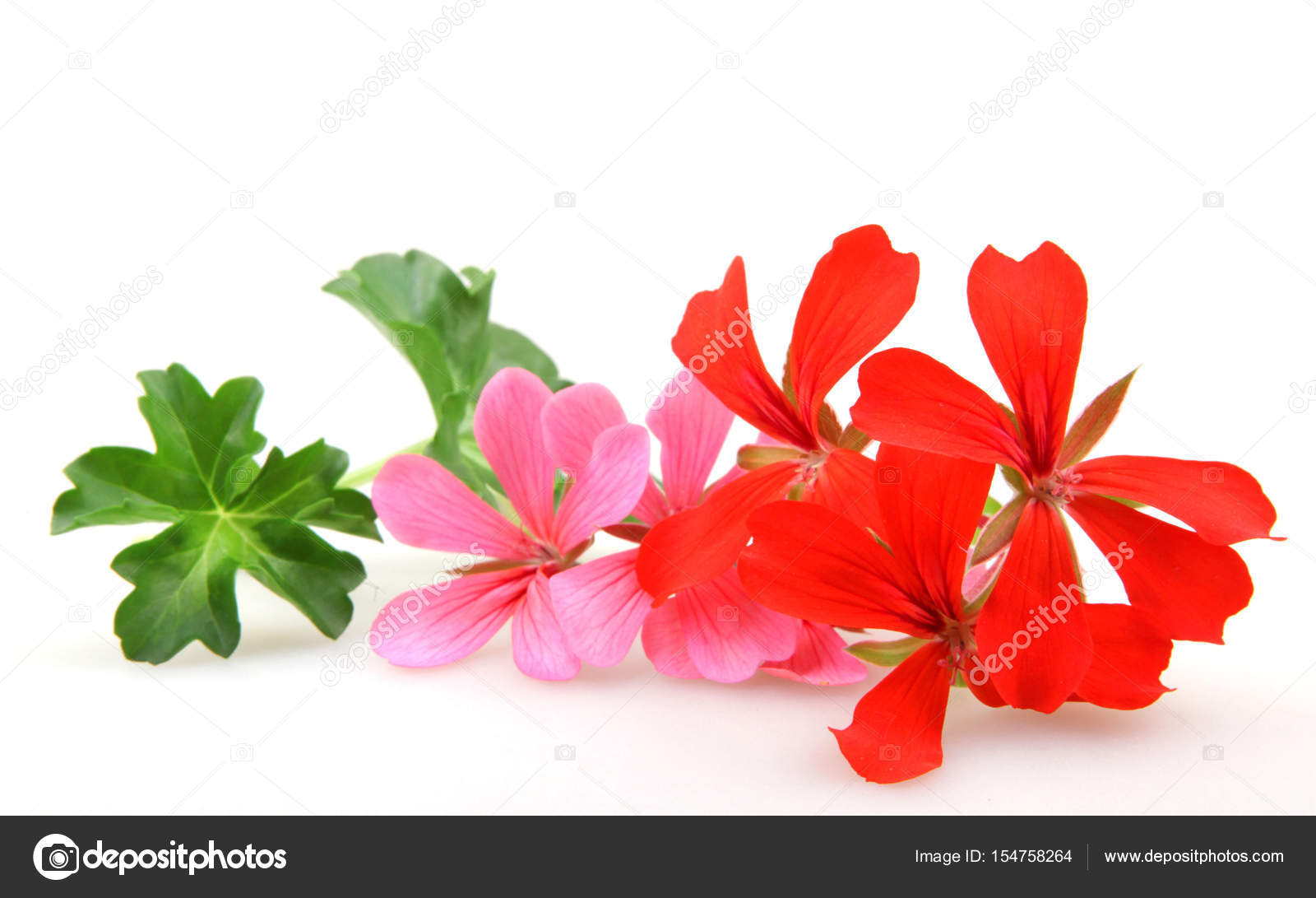 Geranium Flowers - Color Image — Stock Photo © nenovbrothers #154758264