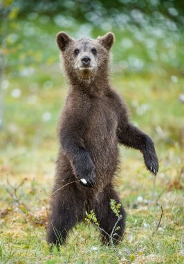 Bear cub stood up on its hind legs