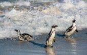 Africké tučňáci chůze z oceánu