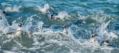 African penguins swimming in  water
