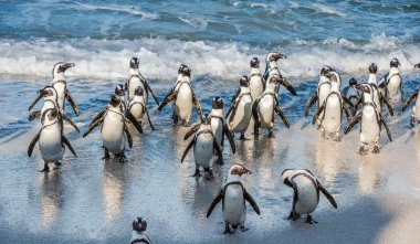 African penguins walk out of the ocean