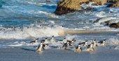 Africké tučňáci odejít z oceánu