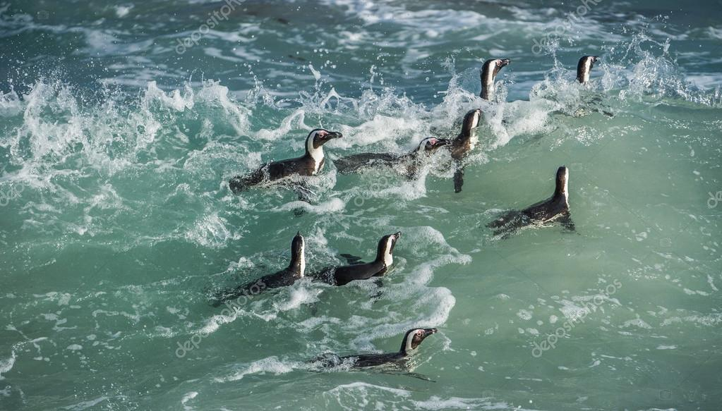 African penguins swim in the water