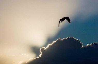 Flying Kelp gull during sunset