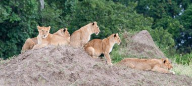 Group of young lions on hill