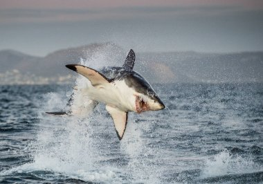 Great White Shark breaching in an attack