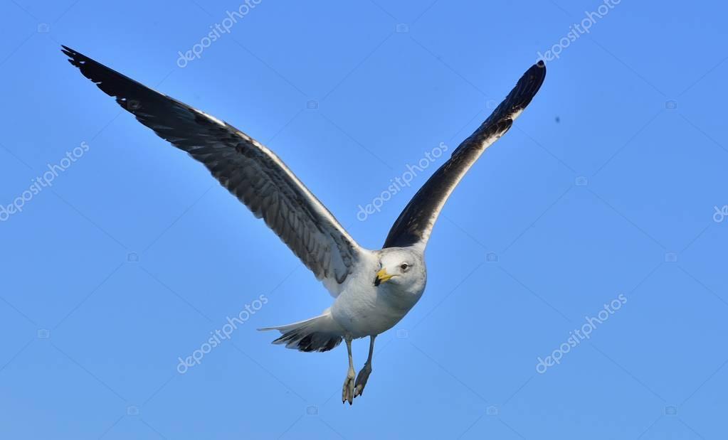 Flying Kelp gull