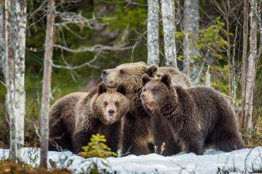 She-bear and bear-cubs