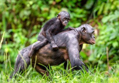 Bonobo Cub on the mother's back