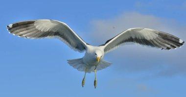 Flying Adult Kelp gull