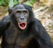 Bonobo in natural habitat