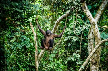 Bonobo on the branch of tree