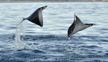Mobula rays jumping out of the water