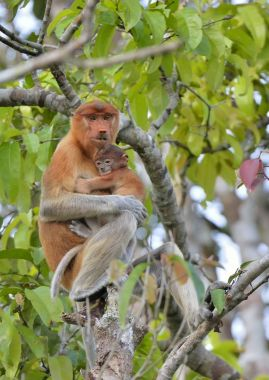 A female proboscis monkey (Nasalis larvatus) feeding a cub