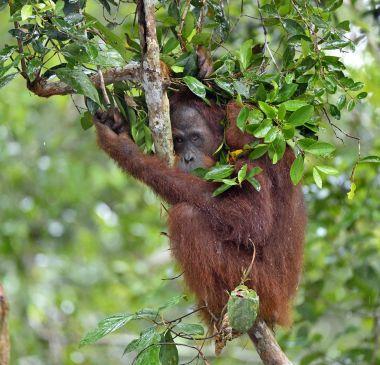 Bornean orangutan on tree