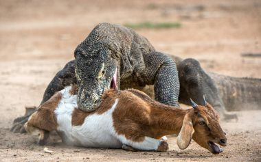 Komodo dragon attacks the prey