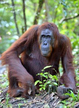 Bornean orangutan in wild nature