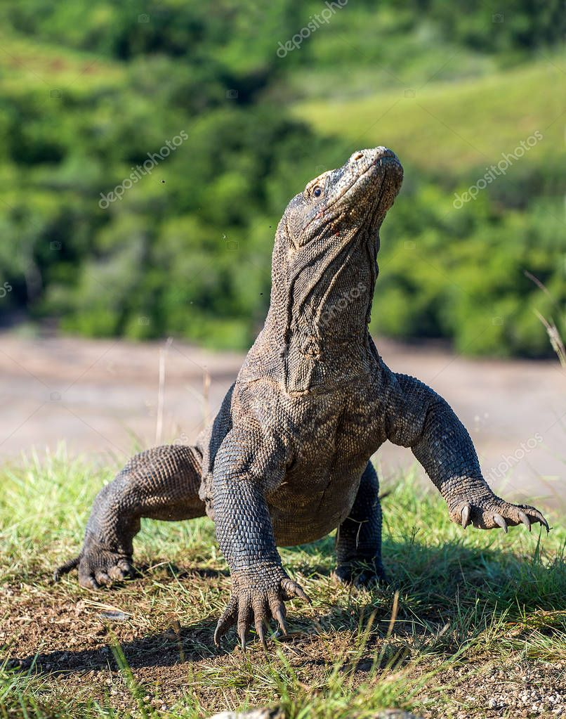 Komodo dragon stands on its hind legs