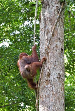 Mother orangutan and cub