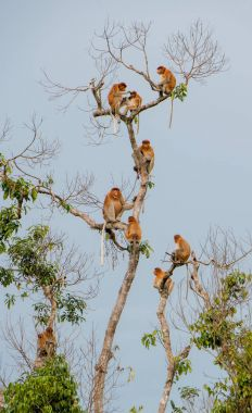 Family of Proboscis Monkeys sitting on tree
