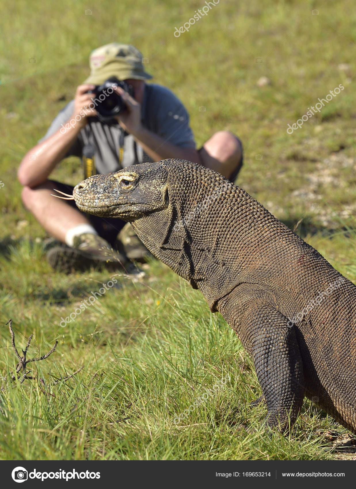 Photographe dragon komodo varanus komodoensis sur le - Images de dragons ...