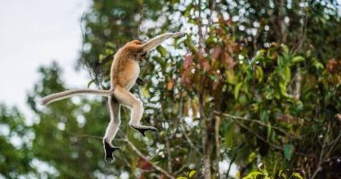 Proboscis Monkey jumping on tree